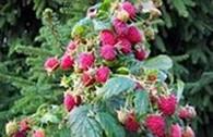 Частное предприятие Частный питомник садовых растений