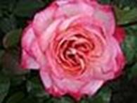 Клематисы и розы
