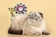 """питомник шотландских кошек """"JuliVal"""""""