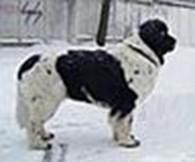 Питомник собак ньюфаундленд «СУПЕР МИШКА»
