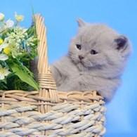 """Питомник британских кошек """"Юдинец"""""""