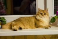 """Питомник кошек """"Greycat"""""""