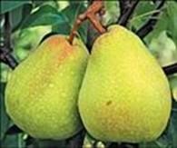 САДЫ ПОБЕДЫ. Питомник плодово-ягодных культур.