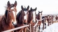 Племенной конный завод «Шадринский»